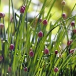 Flowering chives