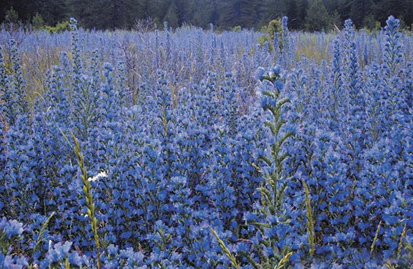 Blue weed BCInvasives