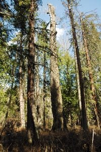 Some of the giant cottonwoods at Morrissey, west of Fernie.